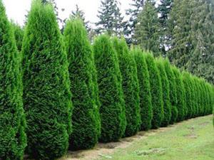 Holmstrup arborvitae viello landscapes llc - Thuja smaragd growth rate ...